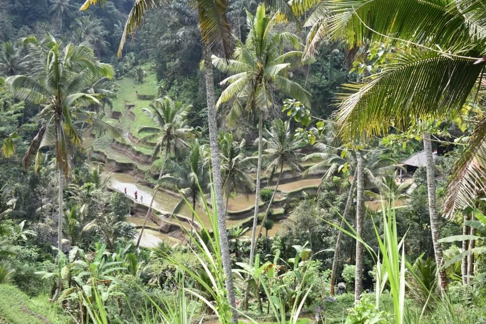 De rijstvelden nabij Ubud