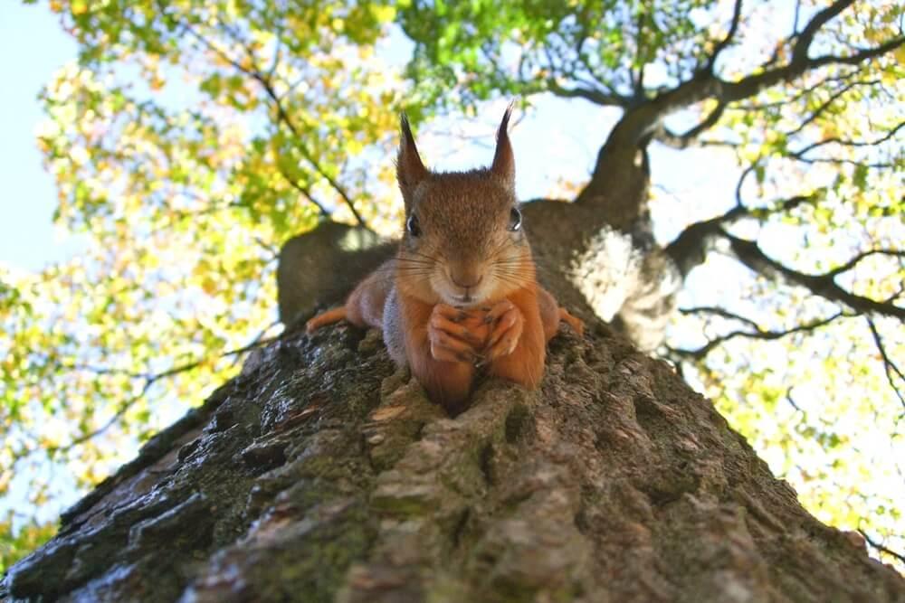 Estland Tallinn eekhoorn
