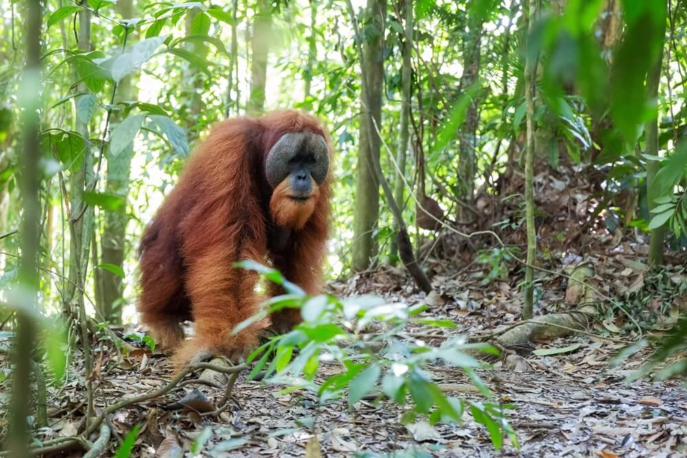 Indonesie Sumatra Bukit Lawang Orang Oetans