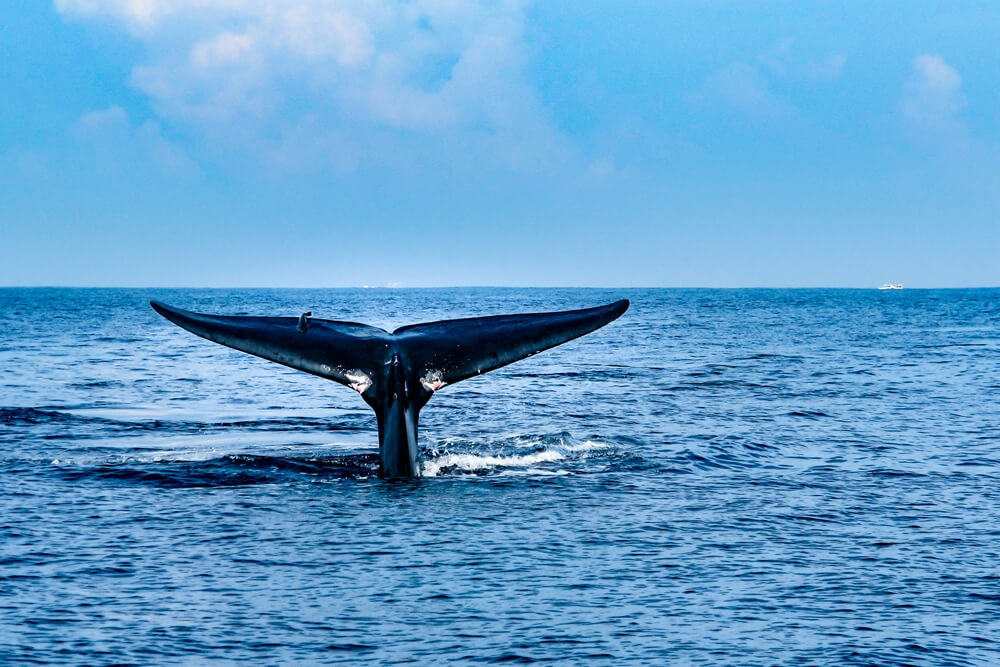 Sri Lanka dieren Bultrug Humpback whale 1